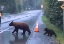 Famille d'ours traversent une route devant les voitures
