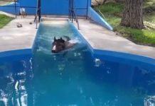 Séance de thérapie aquatique pour cheval