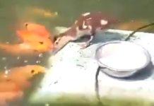 Petit canard nourrit des poissons