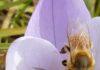 Abeille butine une fleur