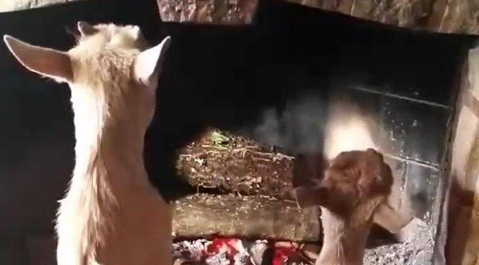 Chèvres à la campagne autour d'un feu de bois