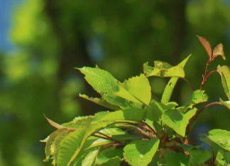 Les plantes communiquent entre elles