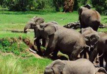 Troupeau d'éléphants traverse une rivière