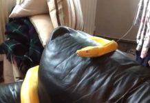 Enorme serpent jaune regarde la télé