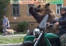 Un ours sur un side-car dans la circulation