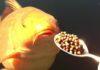 Gros poisson prend des granulés à la cuillère