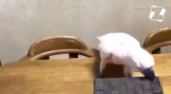 Perroquet fripon avec chat endormi