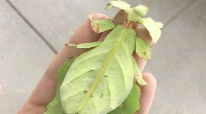 Insecte ressemblant à des feuilles d'arbre