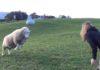 Jouer à la balle avec un mouton