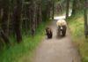 Une maman ours et ses 2 petits face à un homme