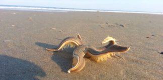 Etoile de mer vivante échouée sur la plage