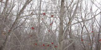 Petits oiseaux rouges dans les arbres enneigés