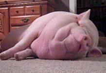 Nouveau concept, le cochon de compagnie