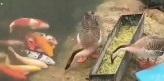 Oies donnent à manger à des gros poissons