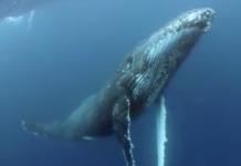 Le chant des baleines sous l'eau