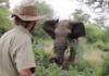 Eléphant chargeant un homme, puis s'arrêtant net