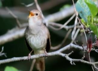 Merveilleux chant d'un rossignol