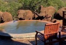 Eléphants boivent l'eau d'une piscine privée