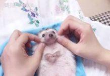 Un petit hérisson reçoit un massage