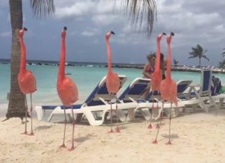 Flamants roses parmi les touristes