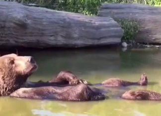 Un ours paisible dans son bain