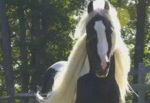 Magnifique cheval trottant dans le pré