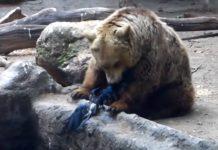 Un ours aide un oiseau en difficulté sur un point d'eau