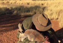 Kangourou qui adore les câlins