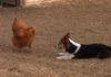 Un canard vient aider une poule