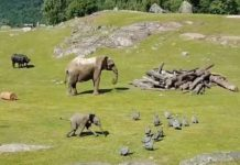 Bébé éléphant qui fait une chute
