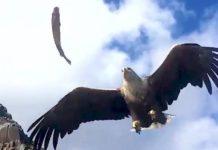 Aigle attrape un poisson en plein ciel