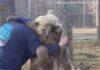 Deux gros ours qui font de vrais hugs !