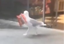 Une mouette vole des chips dans un magasin