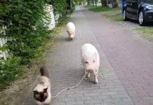 Un porc se promène avec son chat