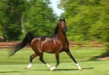 Magnifique cheval arabe