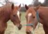 Comme c'est mignon, deux chevaux s'entraident