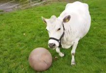 vache cool de compagnie