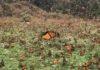 Rassemblement du papillon Monarque à Michoacán