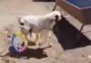 Un agneau remarche avec un fauteuil roulant