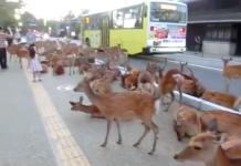Route occupée par des cerfs au Japon