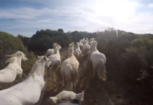 Galop au milieu des chevaux en Camargue