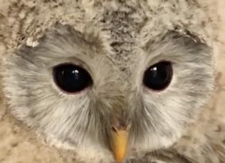 La chouette a de merveilleux yeux