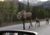Famille d'élans en Alaska