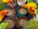 Nombreux perroquets pressés de picorer