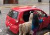lama monte dans un taxi