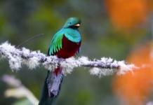 quetzal-resplendissant