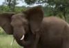 troupeau d'éléphants en colère