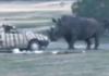rhinocéros en colère s'en prend à une voiture