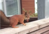 un ecureuil tres gourmand