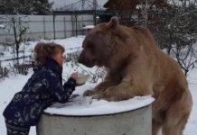 Heure du repas pour cet ours imposant